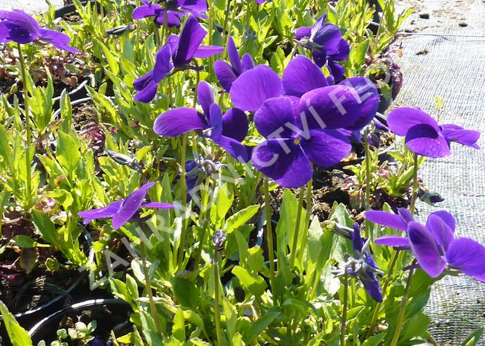 Violka růžkatá 'Hansa' - Viola cornuta 'Hansa'