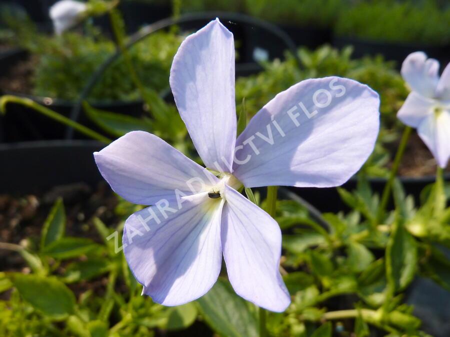 Violka růžkatá 'Boughton Blue' - Viola cornuta 'Boughton Blue'