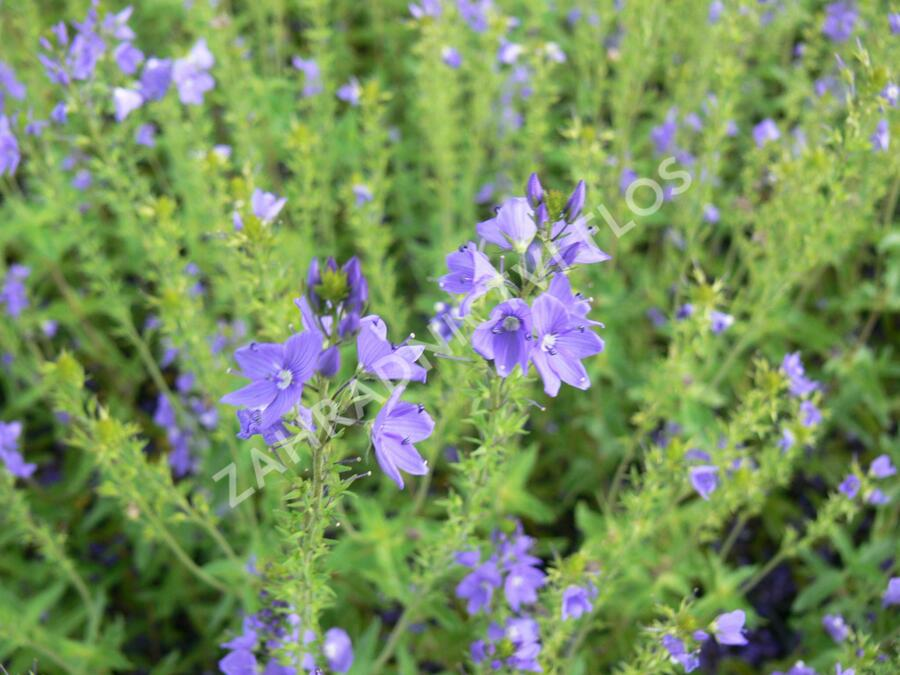Rozrazil rakouský 'Crater Lake Blue' - Veronica austriaca 'Crater Lake Blue'