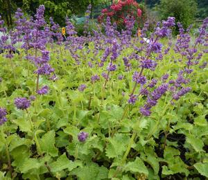 Šalvěj přeslenitá 'Purple Rain' - Salvia verticillata 'Purple Rain'