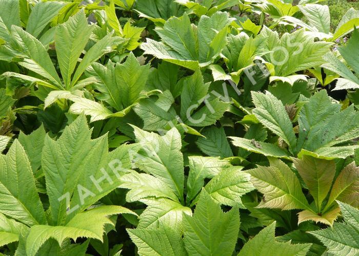 Rodgersie 'Rotlaub' - Rodgersia podophylla 'Rotlaub'