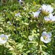 Jirnice - Polemonium reptans