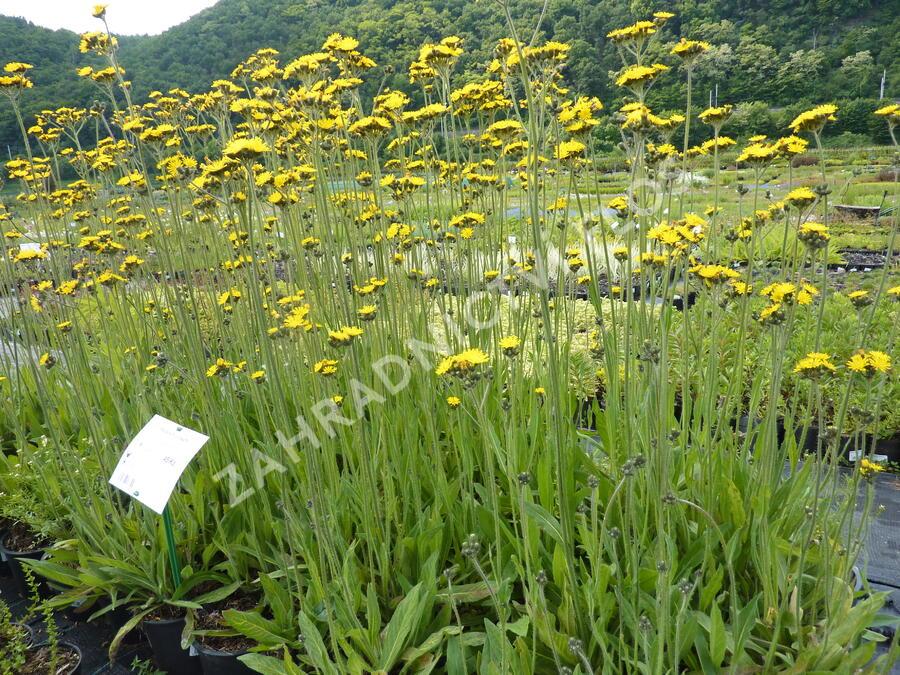 Jestřábník huňatý - Hieracium villosum 2