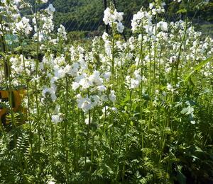 Jirnice 'Alba' - Polemonium caeruleum 'Alba'