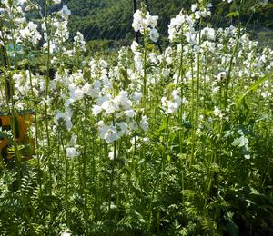 Jirnice modrá  'Alba' - Polemonium caeruleum 'Alba'