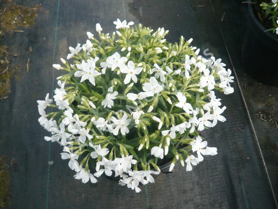 Plamenka šídlovitá 'Calvides White' - Phlox subulata 'Calvides White'