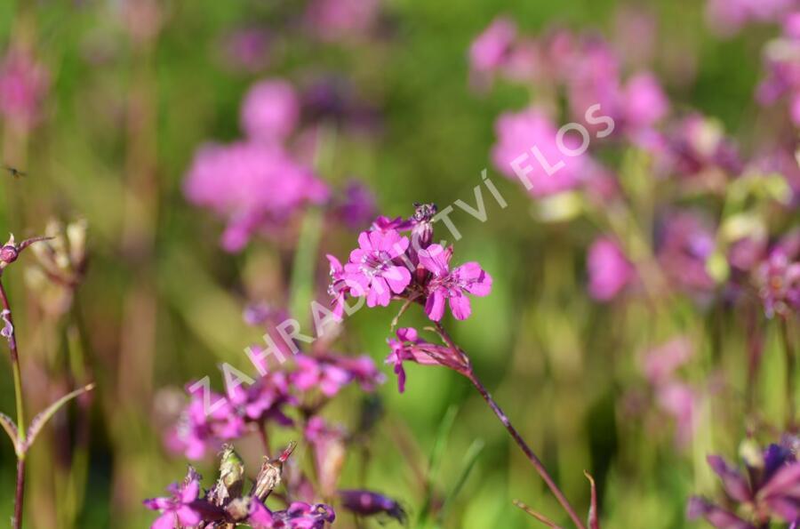 Kohoutek obecný 'Splendens' - Lychnis viscaria 'Splendens'