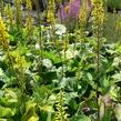 Popelivka 'The Rocket' - Ligularia stenocephala 'The Rocket'