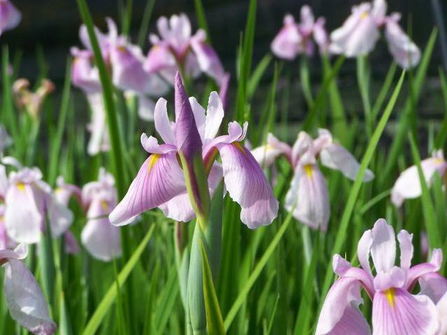 Kosatec sibiřský 'Pink Haze' - Iris sibirica 'Pink Haze'