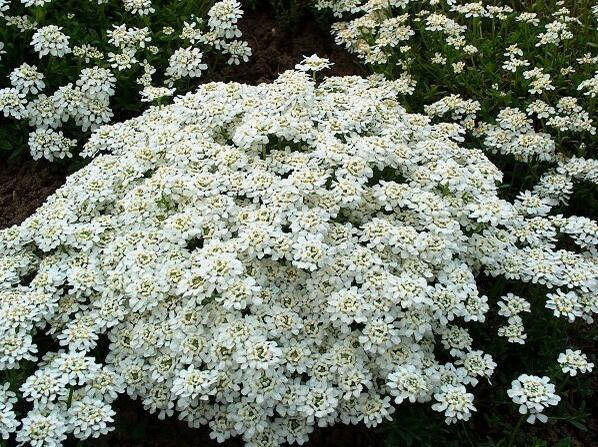 Iberka 'Snow Cushion' - Iberis sempervirens 'Snow Cushion'