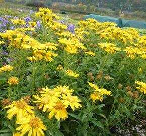 Zlatoočko 'Golden Sunshine' - Chrysopsis speciosa 'Golden Sunshine'