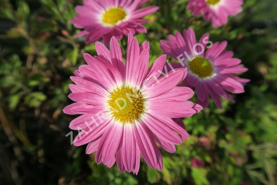 Listopadka 'Rosa-Lila' - Chrysanthemum hortorum 'Rosa-Lila'
