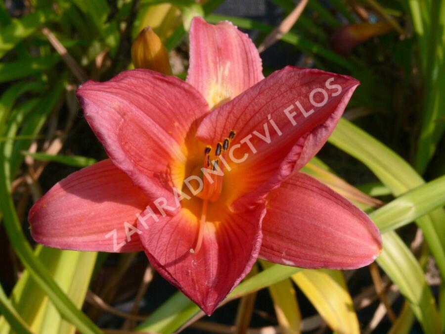 Denivka 'Pink Damask' - Hemerocallis 'Pink Damask'