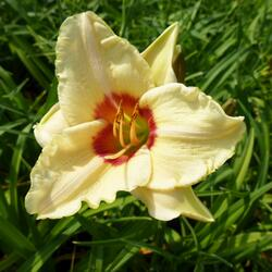 Denivka 'Pandora's Box' - Hemerocallis 'Pandora's Box'