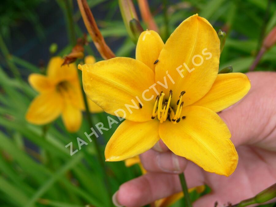 Denivka - Hemerocallis minor