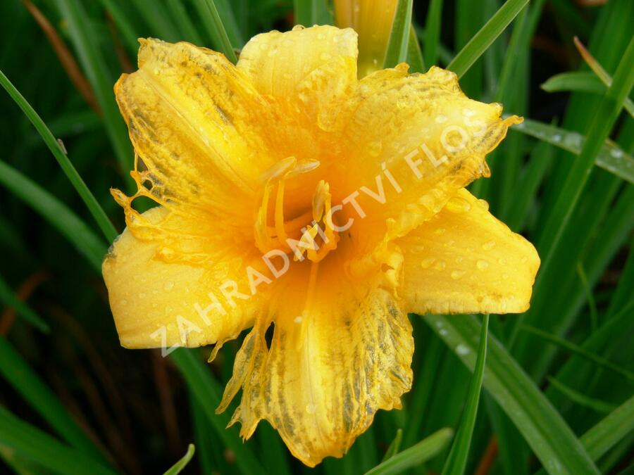 Denivka 'Mini Stella' - Hemerocallis 'Mini Stella'