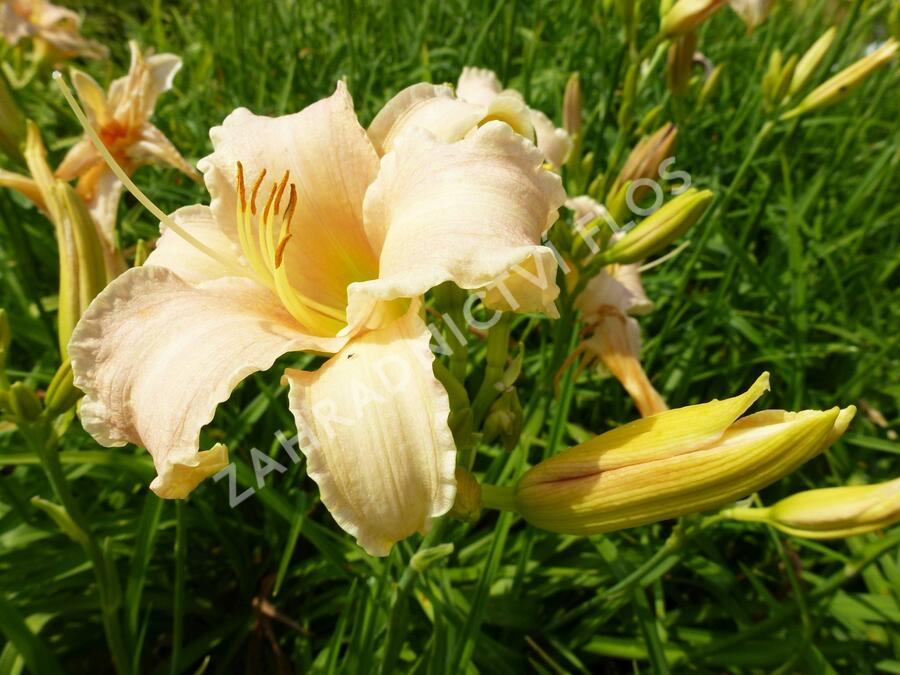 Denivka 'Luxury Lace' - Hemerocallis 'Luxury Lace'