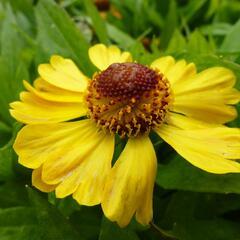 Záplevák 'Blütentisch' - Helenium 'Blütentisch'