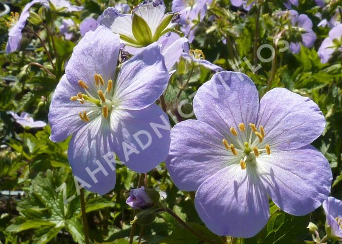 Kakost skvrnitý 'Vickie Lynn' - Geranium maculatum 'Vickie Lynn'