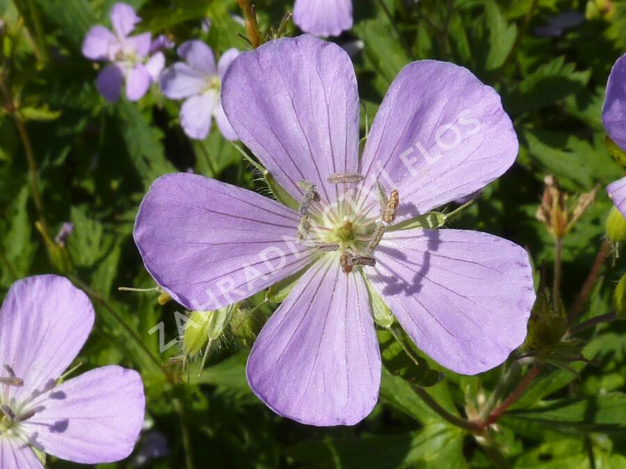 Kakost skvrnitý 'Chatto' - Geranium maculatum 'Chatto'