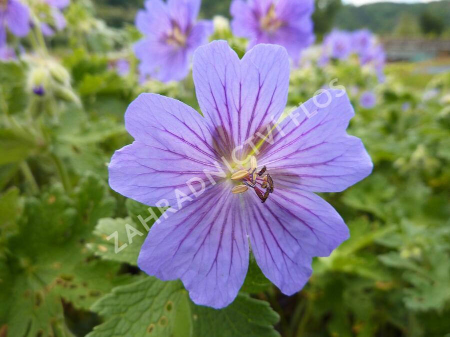 Kakost gruzínský - Geranium ibericum