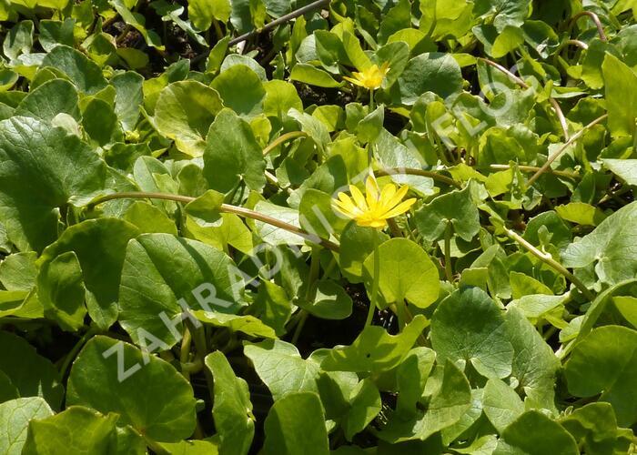 Orsej jarní - Ficaria verna