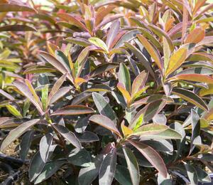 Pryšec sladký 'Chameleon' - Euphorbia dulcis 'Chameleon'