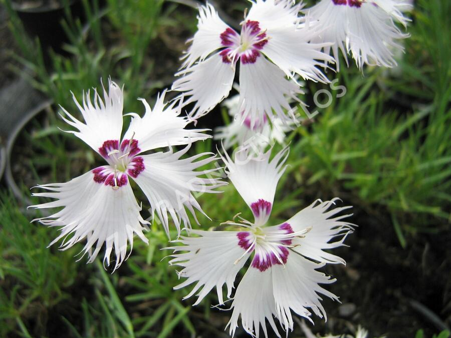 Hvozdík - Dianthus spiculiformis