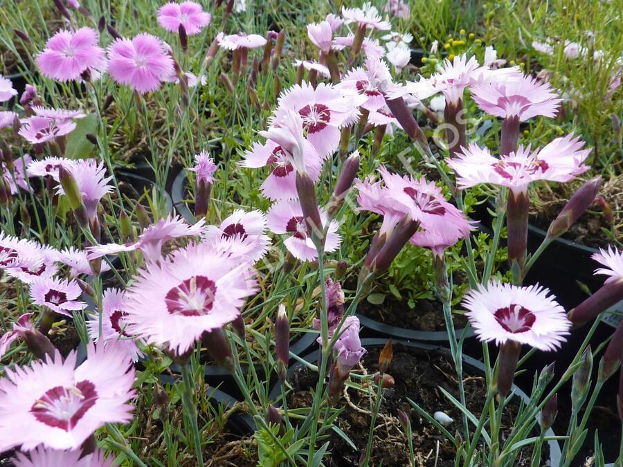 Hvozdík 'Alpinus' - Dianthus allwoodii 'Alpinus'