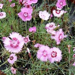 Hvozdík - Dianthus allwoodii
