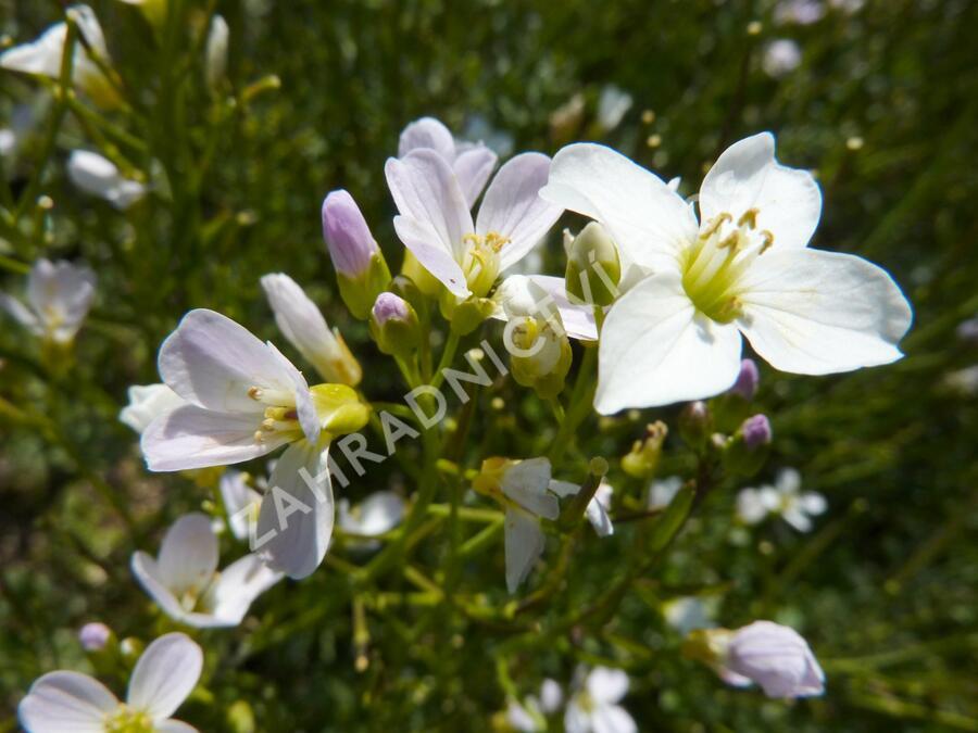 Řeřišnice luční - Cardamine pratensis