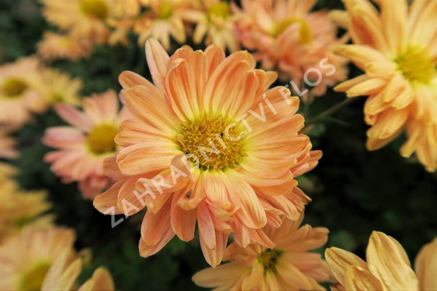 Listopadka indická 'Kleiner Bernstein' - Chrysanthemum indicum 'Kleiner Bernstein'