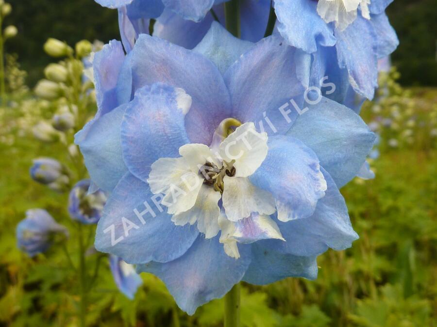 Ostrožka 'Sky Blue/White Bee' - Delphinium Magic Fountain 'Sky Blue/White Bee'