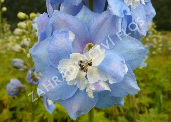 Ostrožka 'Sky Blue/White Bee' - Delphinium Magic Fountain 'Sky Blue/White Bee'