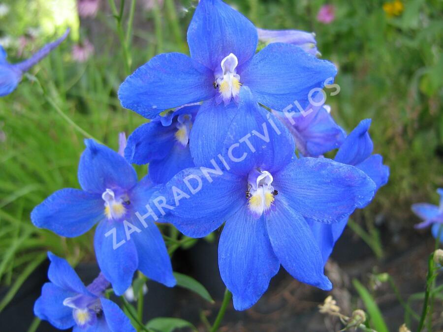 Ostrožka 'Piccolo' - Delphinium belladonna 'Piccolo'