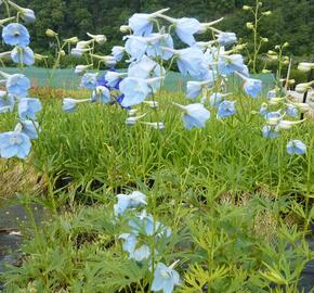 Ostrožka 'Ballkleid' - Delphinium belladonna 'Ballkleid'