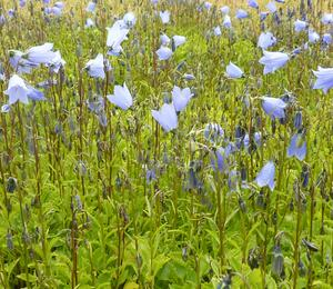 Zvonek lžičkolistý 'Blue' - Campanula cochleariifolia 'Blue'