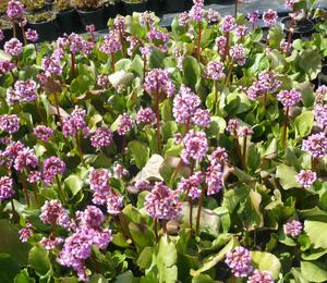 Bergénie srdčitá 'Rose Beauty' - Bergenia cordifolia 'Rose Beauty'