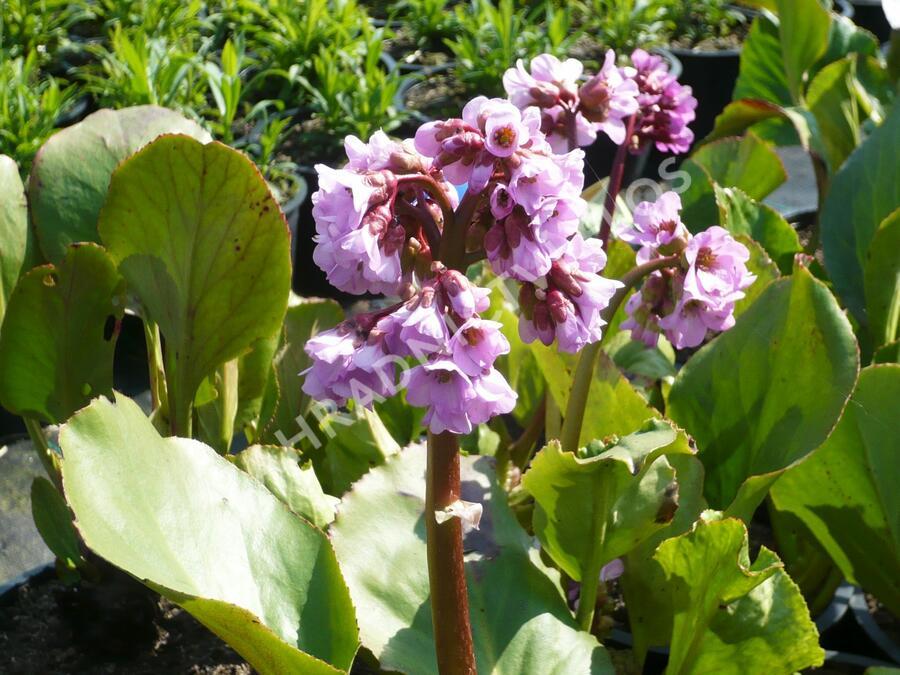 Bergénie srdčitá 'Rose Beauty' - Bergenia cordifolia 'Rose Beauty'
