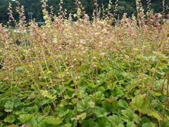 Mitrovka velkokvětá 'Forest Frost' - Tellima grandiflora 'Forest Frost'