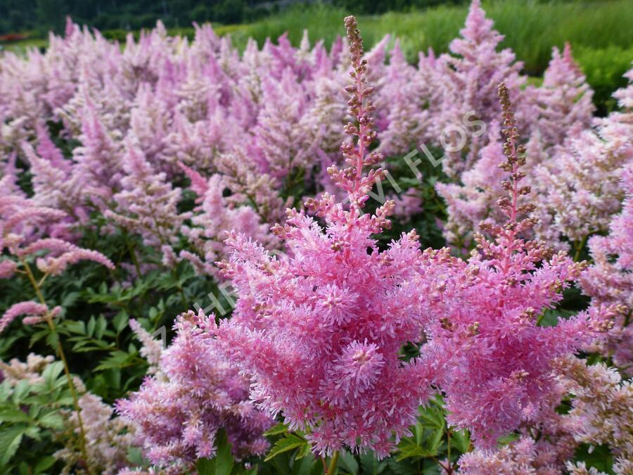 Čechrava Arendsova 'Purple' - Astilbe arendsii 'Purple'