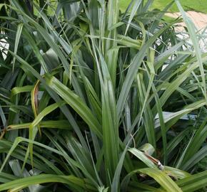 Astelie - Astelia chathamica