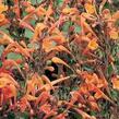 Agastache, Mexický yzop 'Firebird' - Agastache barberi 'Firebird'