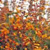 Agastache 'Apricot Sprite' - Agastache aurantiaca 'Apricot Sprite'