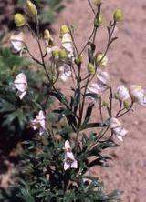 Oměj latnatá 'Roseum' - Aconitum paniculatum 'Roseum'