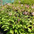Liliovka srstnatá, hadí lilie 'Taiwan Adbane' - Tricyrtis hirta 'Taiwan Adbane'