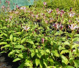 Hadí lilie 'Taiwan Adbane' - Tricyrtis hirta 'Taiwan Adbane'