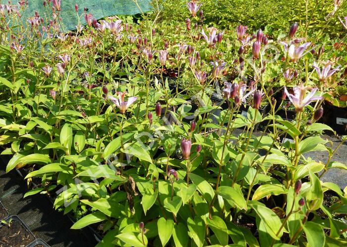 Lliliovka srstnatá, hadí lilie 'Taiwan Adbane' - Tricyrtis hirta 'Taiwan Adbane'