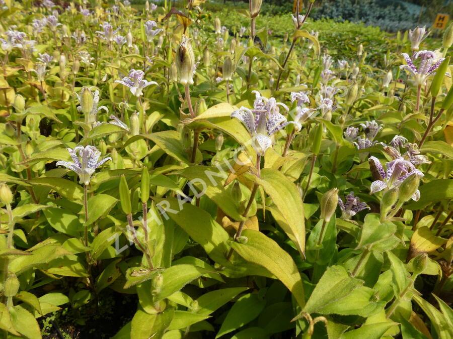 Lliliovka srstnatá, hadí lilie - Tricyrtis hirta