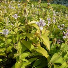 Liliovka srstnatá, hadí lilie - Tricyrtis hirta